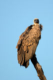White backed Vulture on the lookout Royalty Free Stock Photography