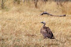 White backed vulture, Namibia Africa safari wildlife and wilderness Royalty Free Stock Images
