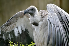 White-backed Vulture with open wings Stock Photos