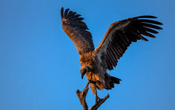 White Backed Vulture Perched in Kruger National Park Royalty Free Stock Images