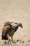 White-Backed vulture perched on rock Stock Photo