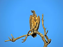 White-backed Vulture Royalty Free Stock Photography