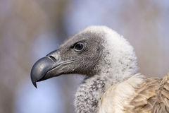 White-backed vulture portrait. White-backed vulture (Gyps africanus royalty free stock images
