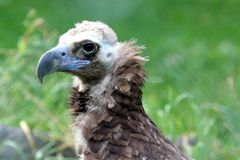 White backed vulture portrait Stock Images