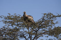 White Backed Vulture Roosting on Thorny Treetop Stock Images