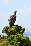 White-backed Vulture in the savannah Stock Image