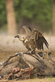 White-backed Vulture scavenging on carcass. White-backed Vulture (Gyps africanus) scavenging on Hippopotamus carcass (Hippopotamus amphibius Stock Images