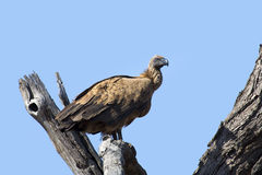 White backed vulture sitting in dead tree with blue sky Royalty Free Stock Photography