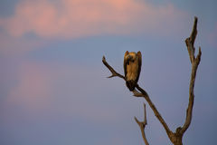 White backed vulture sitting in dead tree at sunset Stock Photo