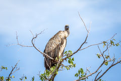 White-backed vulture sitting in a tree. Royalty Free Stock Photos