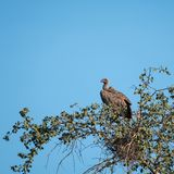 White backed vulture sitting in a tree and surveying the scene. Photographed in the late afternoon at Sabi Sands, South Africa. White backed vulture sitting in a stock image