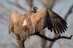 White backed Vulture Spreading its Wings Royalty Free Stock Photos