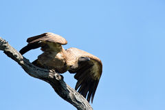 White backed vulture take off Stock Photos