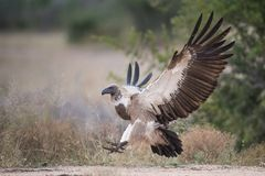 White-backed vulture with wings outstretched royalty free stock images