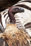 White-backed vulture by zebra carcase Stock Photos