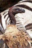 White-backed vulture by zebra carcase. White-backed vulture, Masai Mara, Kenya, East Africa Stock Photos