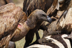 White-backed vulture by zebra carcass, Kenya Royalty Free Stock Photography