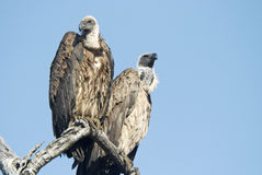 White backed vultures. The White-backed Vulture, Gyps africanus, is an Old World vulture in the family Accipitridae, which also includes eagles, kites, buzzards royalty free stock image