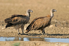 White-backed vultures Royalty Free Stock Photography