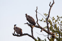 White-backed Vultures on bare tree trunk. South Africa, Kruger's National Park Royalty Free Stock Photography