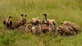 White-backed Vultures feeding Royalty Free Stock Image