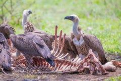 White-backed vultures feeding Royalty Free Stock Image