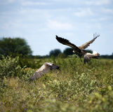 White-Backed Vultures in Flight Royalty Free Stock Images