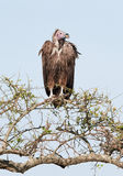 White-backed vultures Gyps africanus Stock Image