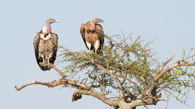 White-backed vultures Gyps africanus Royalty Free Stock Photos