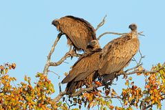 White-backed vultures in a tree Royalty Free Stock Photos