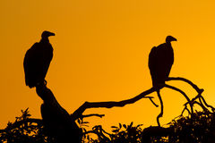 White Backed Vultures (Gyps africanus), South Africa. White Backed Vultures (Gyps africanus) perching in a tree at sunset, South Africa Royalty Free Stock Images