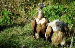 White-backed vultures, Kruger National Park, South African Repub Stock Photos