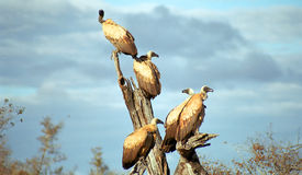 White-backed vultures, Kruger National Park, South African Repub Royalty Free Stock Photos