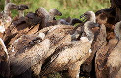 White-backed vultures, Kruger National Park, South African Repub Royalty Free Stock Photo