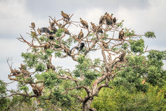 White-backed vultures sitting in a tree. Royalty Free Stock Image