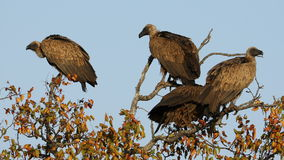 White-backed vultures in a tree stock video