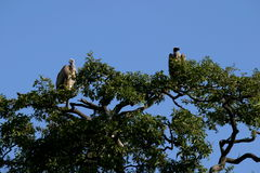 White-Backed Vultures. The vultures was in the Kruger Park. Waiting for the lions to finish before they will fly done to eat whats left Royalty Free Stock Photography