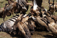 White-backed vultures by zebra carcase Royalty Free Stock Photos