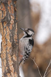 White-backed Woodpecker Royalty Free Stock Images