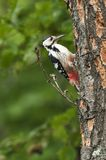 White-backed Woodpecker Royalty Free Stock Photo