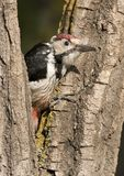 White-backed Woodpecker Stock Photos