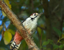 White-backed woodpecker. On branch Stock Photo