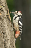 White-backed Woodpecker, Dendrocopos leucotos Stock Images