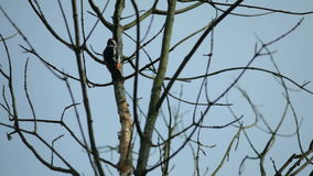 White-Backed Woodpecker, Russia, Moscow region stock video