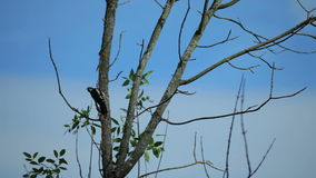 White-Backed Woodpecker, Russia, Moscow region stock video footage