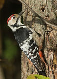 White-backed woodpecker. On tree Stock Image