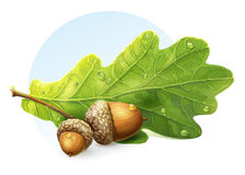 White background autumn acorns with green leaf Stock Image