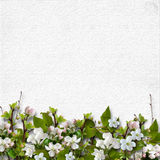White background with a border of apple blossoms Royalty Free Stock Photo