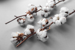 White background with branch of cotton plant Royalty Free Stock Images