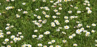 White background daisies in the lawn Green Royalty Free Stock Photo
